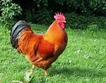 New Product - NH RED Rooster