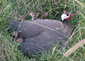 New Product - Guinea Hen